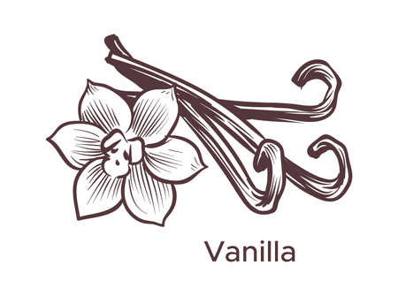 Hand drawn vanilla illustration. Sketch cooking and perfumery ingredient for labels and packages in engraving style. Aromatherapy antioxidant pods, sticks and flower, vector single isolated element