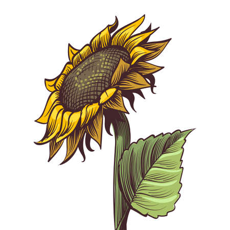 Hand drawn sunflower. Yellow wildflower in sketch style, sunny blossom with black seeds leaves and petals colored engraving illustration