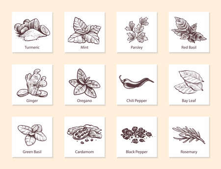 Spices and herbs. Hand drawn ginger, chilli and black pepper, green basil, oregano and bay leaf. Mint, cardamom and rosemary. Aromatic cooking ingredients in sketch style vector isolated illustration