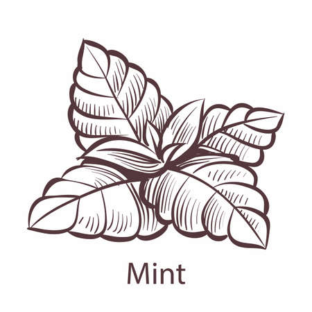 Mint icon. Hand drawn detailed organic product sketch style illustration, fresh organic leaves engraving drawing, tea toothpaste or gum label, cooking symbol with text vector single isolated object
