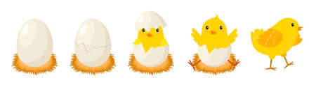 Chicken hatching stages. Newborn little cute chick, small baby bird emergence from egg, cracked shell in laying hens nest. Easter chicks concept. Funny domestic animal vector cartoon isolated concept 스톡 콘텐츠 - 165336294