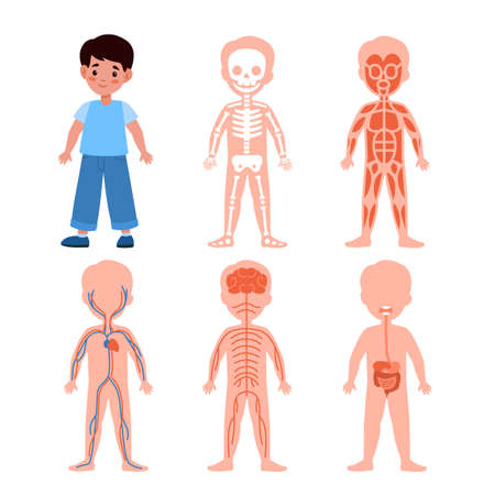 Boy body system. Kids anatomy poster set, medical education schemes, skeletal, muscular and nervous, circulatory and digestive systems. Bones muscles and organs vector cartoon isolated illustration 일러스트