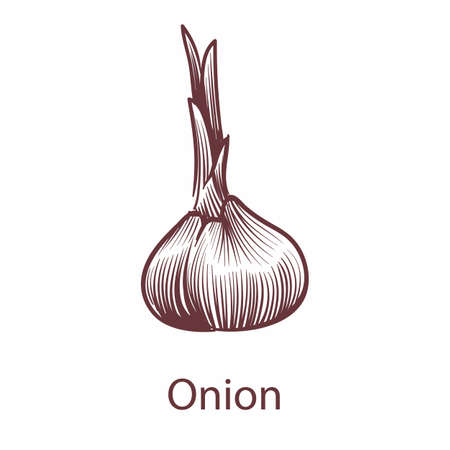 Onion isolated on white background. Detailed organic product sketch, fresh whole object engraving drawing, kitchen and cooking symbol with text. Hand drawn vector single illustration in retro style