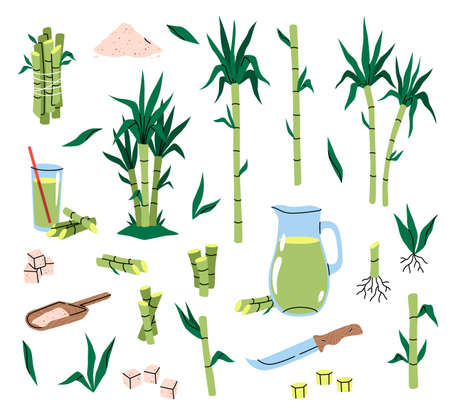 Sugarcane plant. Different parts cane, tropical green leaves and stems, plants cuttings with roots, sugar cubes and syrup, sweet juice, healthy eco product. Vector cartoon isolated set