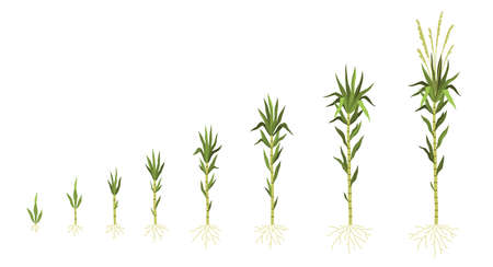 Sugarcane cultivation. Plant growing process. Sweet cane growth steps sequence. Green stem with leaves and roots. Different progress stages from small shoot to adult. Vector concept Stock Illustratie