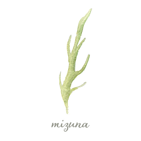 potherb: Watercolor mizuna or Japanese mustard - hand painted vector