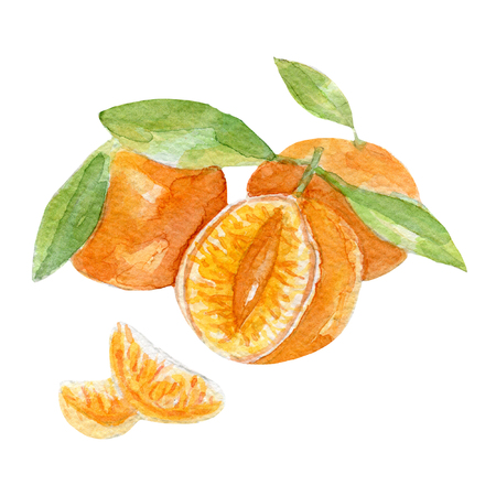 fresh mandarins illustration. Hand drawn watercolor on white background.