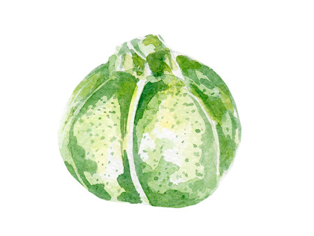 the sprouting: fresh brussel sprout illustration. Hand drawn watercolor on white background.