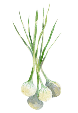 fresh onion illustration. Hand drawn watercolor on white background. Stock Photo