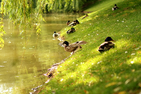 ducks on the shore of the lake on the grass after bathing clean feathers Stock Photo