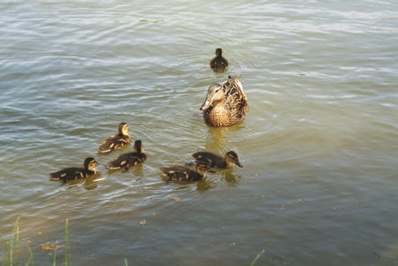 duck mom watching her little offspring swimming in the lake