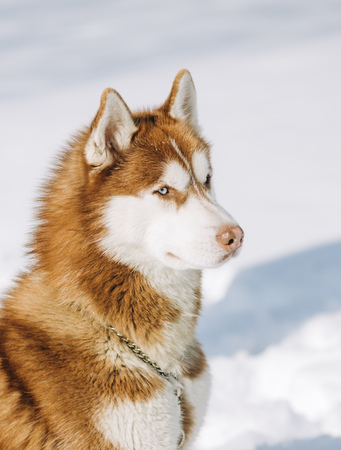 dog blue eyed husky brown white colors sits on a snow background Stok Fotoğraf