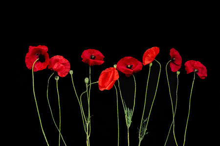 red poppies flowers in a row horizontally on a black background Фото со стока