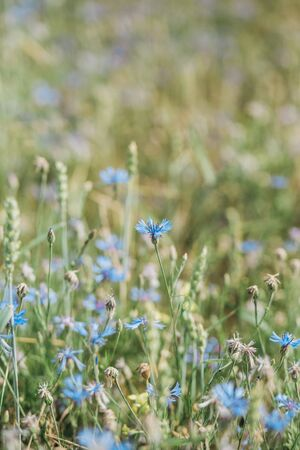close up field with blue flowers cornflower meadow vegetation season