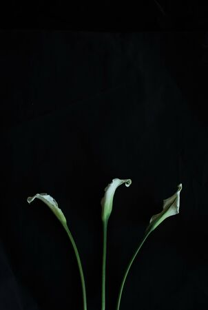 beautiful three calla lilies white on a black background greeting card with empty place