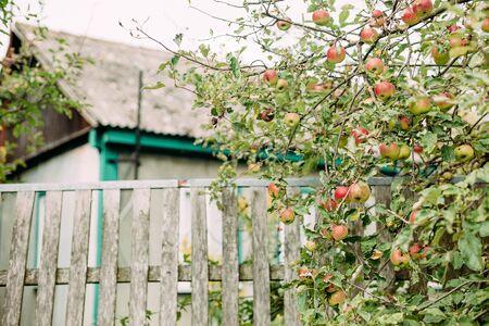 farmhouse plot fence and apple tree with fruits harvest season