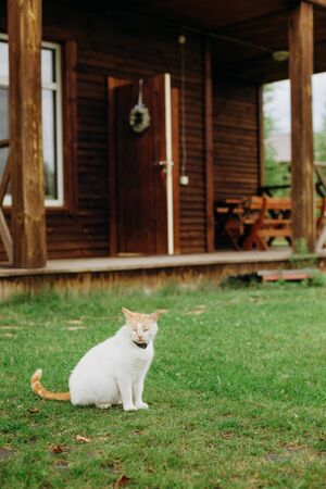 domestic cat with a collar outside in the garden lawn near the house Фото со стока
