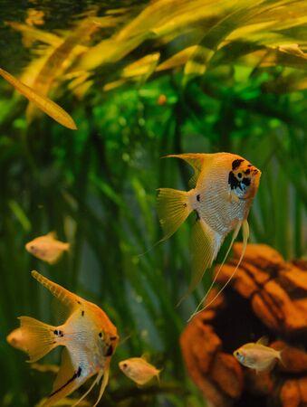 aquarium fish angelfish steam in an aquarium with algae design and interior details