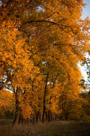 yellow trees in the forest autumn season fallen leaves