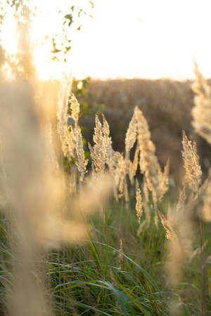 tall meadow grass close up seeds mature blurred