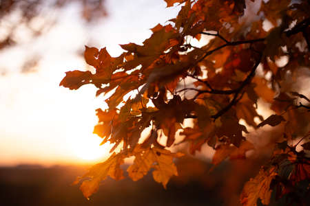 red oak leaves on a branch with magic light of autumn sunset Reklamní fotografie