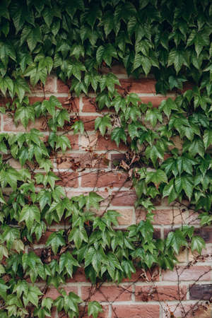 background textured brick wall with climbing plant ivy Reklamní fotografie