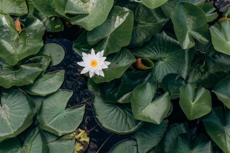 white water lily flower with large leaves on the lake