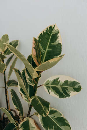 houseplant ficus with large beautiful leaves home comfort and a healthy lifestyle 版權商用圖片