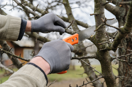 Work in the garden. Man cutting branches of trees and berry bushes using the Фото со стока - 66206486