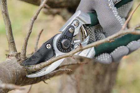 Work in the garden. Man cutting branches of trees and berry bushes using secateurs.