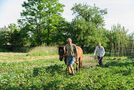 Farmers are plowing a land.  They is using a plow and a horse to cultivate a soil.  Men are hilling  rows of potatoes. Stock Photo