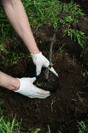 Planting apple trees. Hands of man and child hold a seedling apple