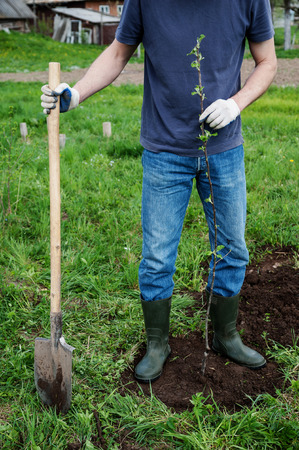 Planting apple trees. A man holding a seedling apple