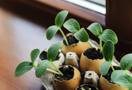 On the windowsill is a box of sprouts in egg shells Stock Photo