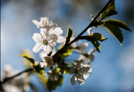 Blossom apple flowers on a background of blue sky