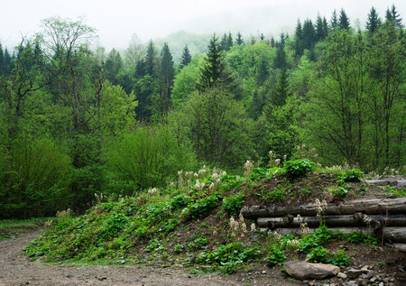 Forest landscape. Wood in the Carpathians. The mountains are covered by fog
