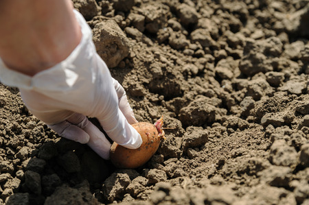 Planting seed potatoes. Human hand puts the tubers in the ground. Stock Photo
