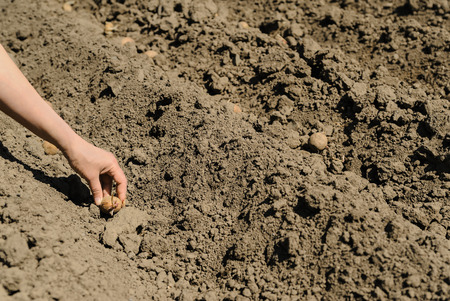 Planting seed potatoes. Human hand puts the tubers in the ground. Фото со стока