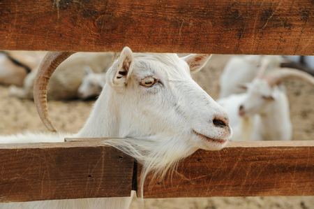 Animals in captivity. Head of goat between the fence planks. Stock Photo