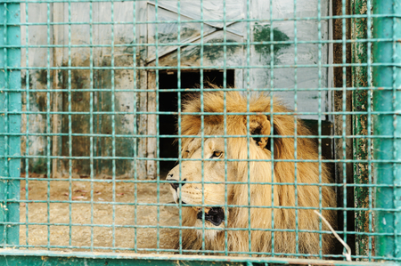 Animals in captivity. Lion is in the cell.