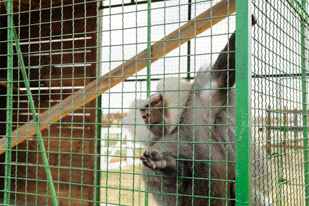 Animals in captivity. Baboon is in the cell. Stock Photo