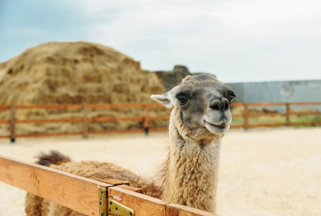 Animals in captivity. Lama is behind the fence on the background of stacks of straw. Stock Photo