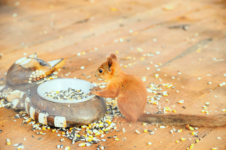 Squirrel keeps paws edge bowls with food.