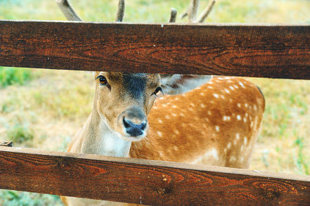 Animals in captivity. Deer is a fence.