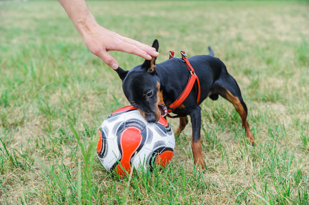 The dog is biting a soccer ball. The hand man is caressing a dog.