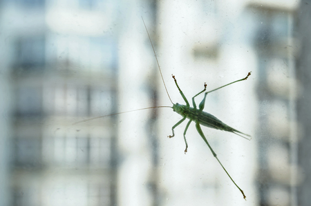The grasshopper is on the glass against the background of a multistory building. Stock Photo