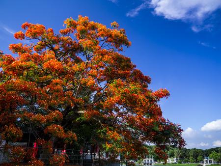 spent: Red phoenix tree Stock Photo