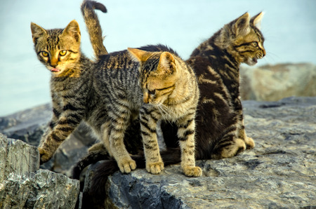 unprotected: Mother on the sea rocks family of Cats and Kittens. Homeless, stray cats. Stock Photo