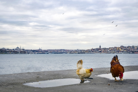 Roosters and chickens in the Istanbul Bosphorus. Istanbul European Side views seen in the background. Stock Photo