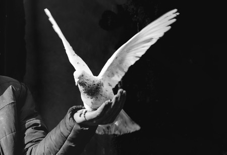 In the bird market, fluttering dove on hand. Domestic pigeons. Stock Photo